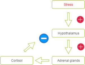 simplified flowchart of how the hypothalamus is affected by stress